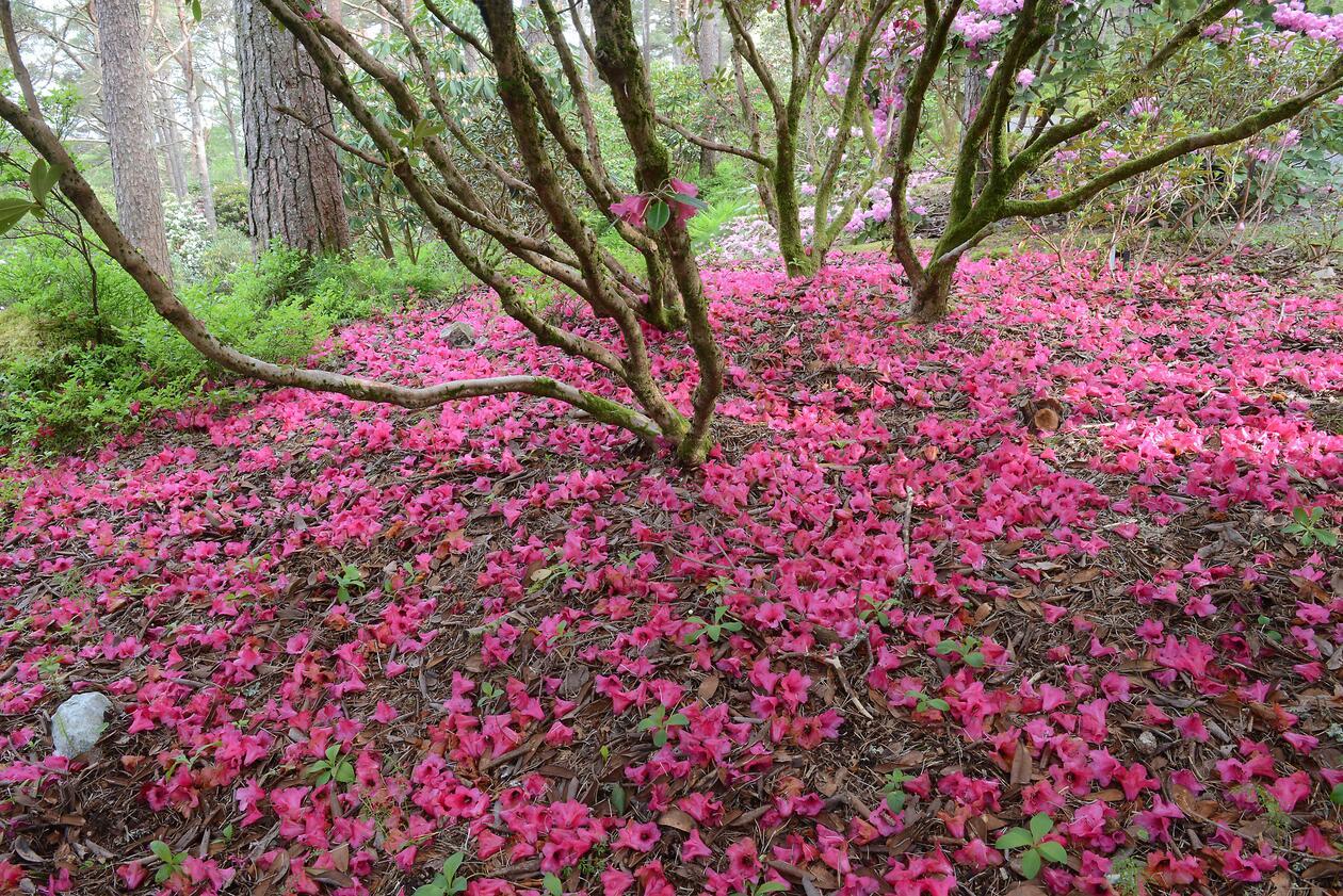 Rhododendron artssamlingen.