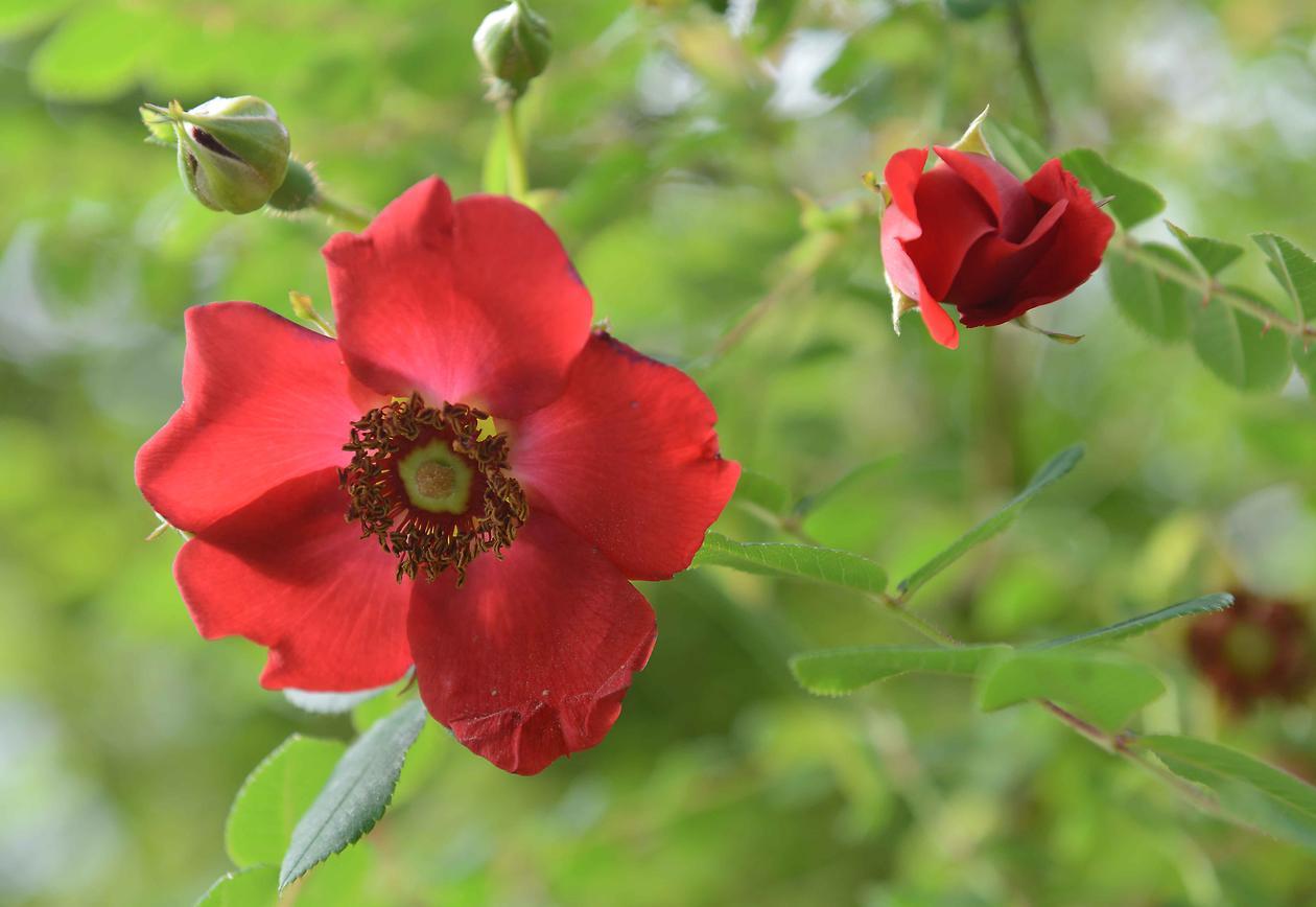 Rosa moyesi 'Geranium' i Villrosebakken.
