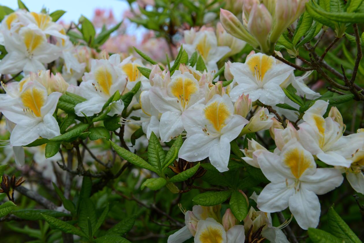 Asalea er løvfellende rhododendron