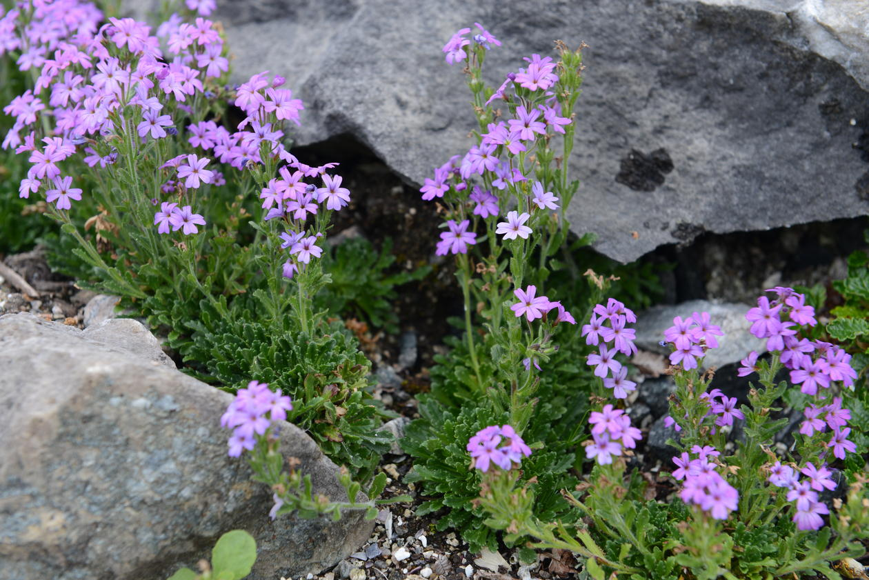 Erinus alpinus (alpine balsam) between limestone rocks.