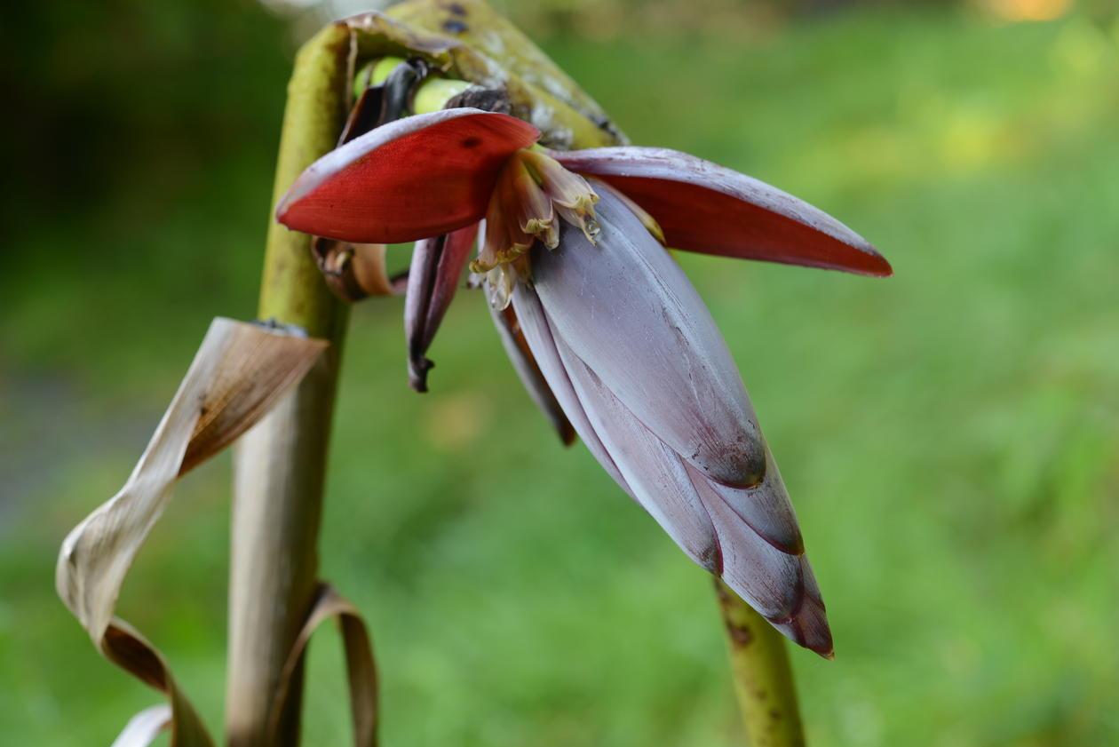 Musa formosana blomstrer ute for første gang i Arboretet.