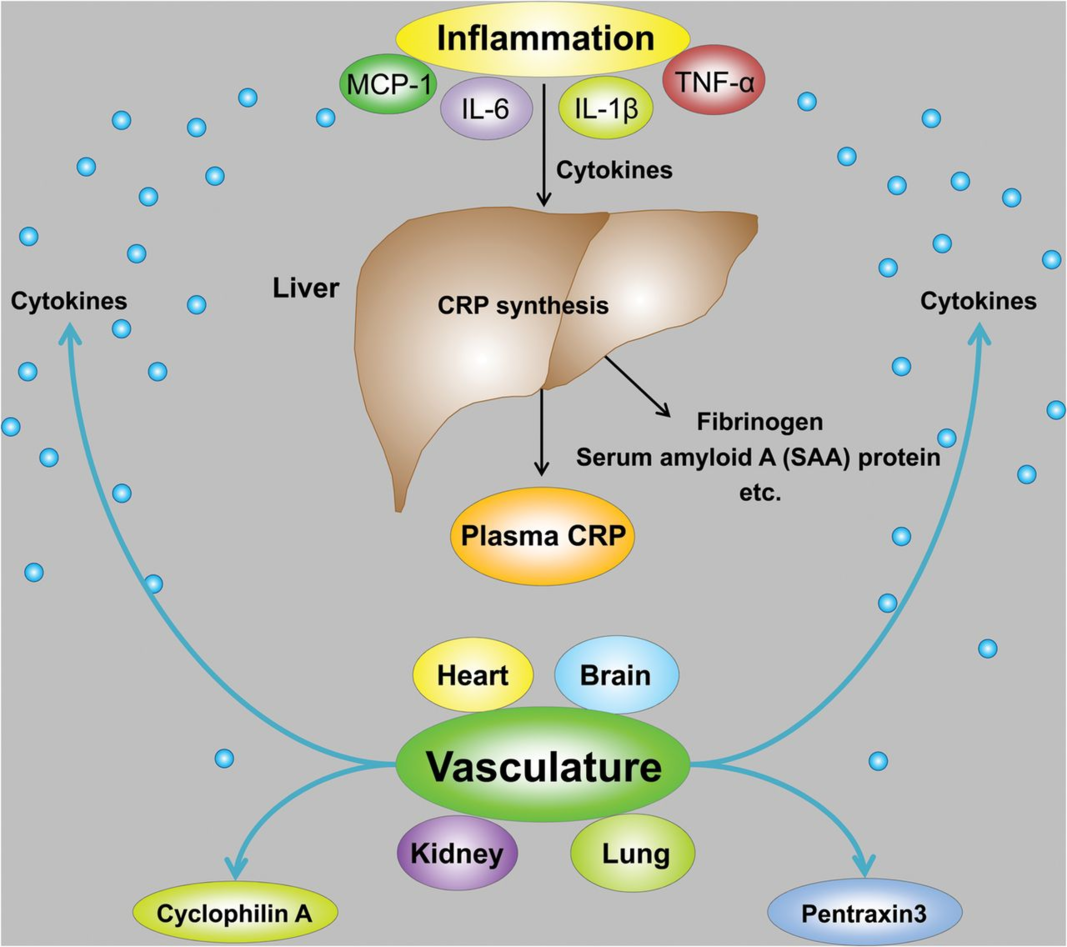 The synthesis of CRP in the liver is increased by circulating inflammatory cytokines.
