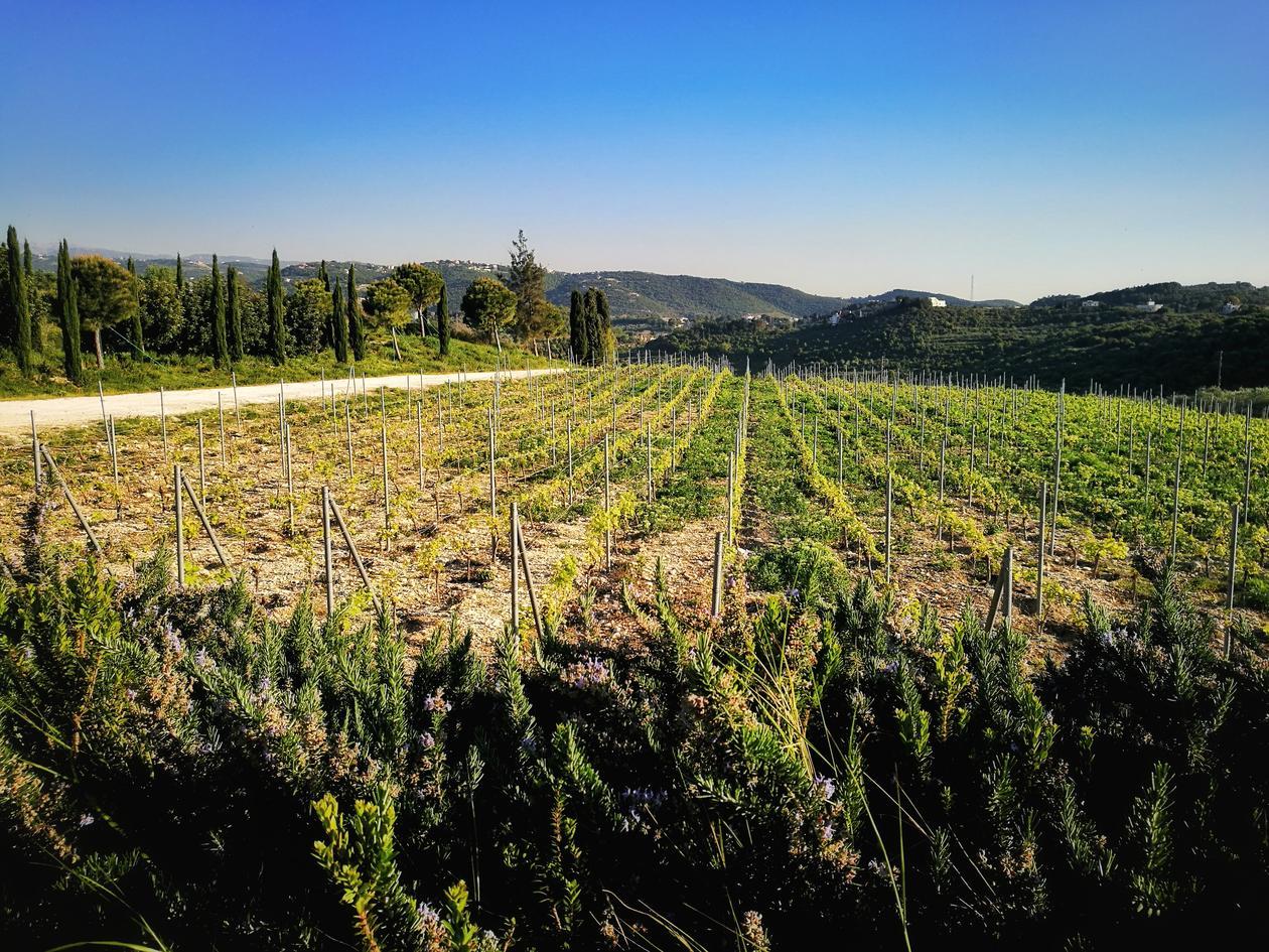 Landscape of vineyard fields and blue sky.