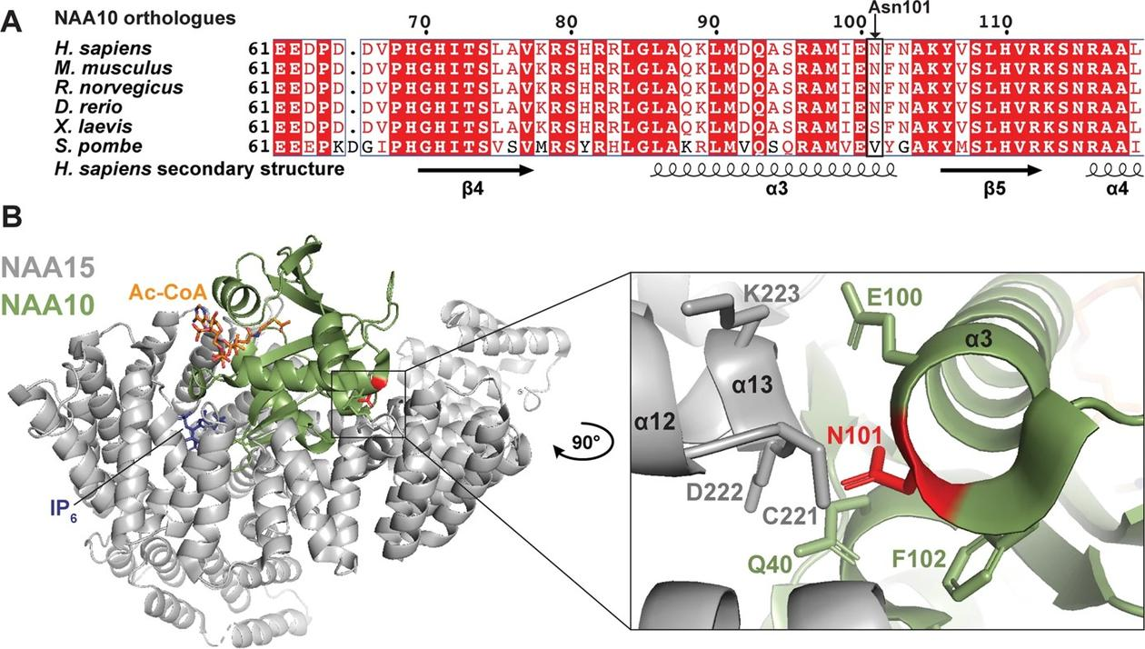 The NAA10 Asn101Lys variant disrupts the NAA10-NAA15 (NatA) complex and thereby the ability of this complex to carry out protein N-terminal acetylation.