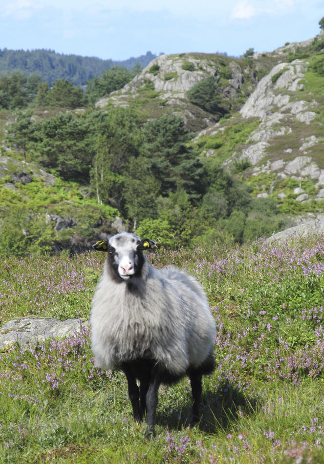 A ewe staring at the camera on a heathland landscape