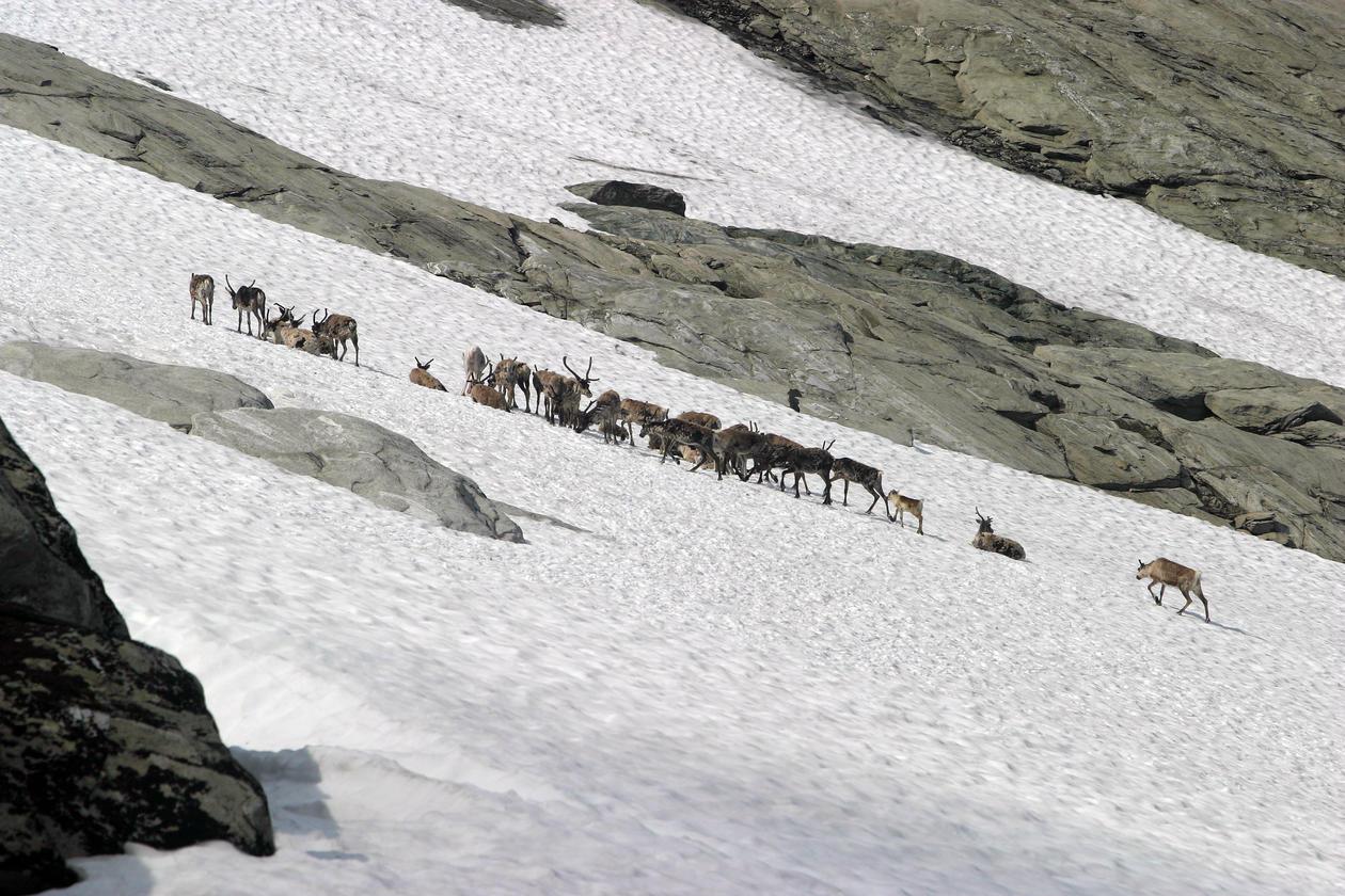 Reinsdyr Hardangervidda