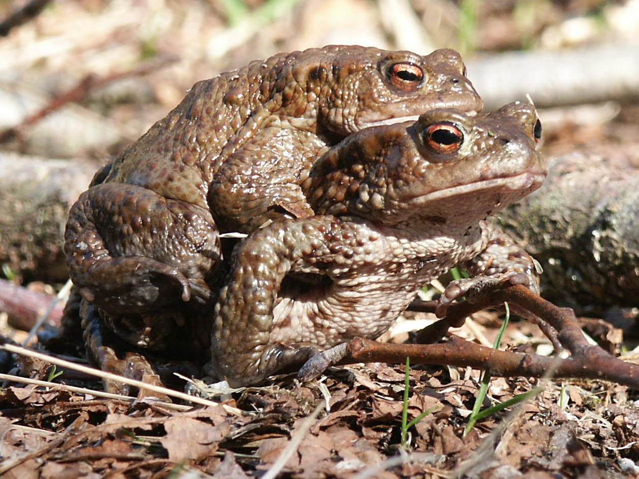 the common toad Bufo bufo