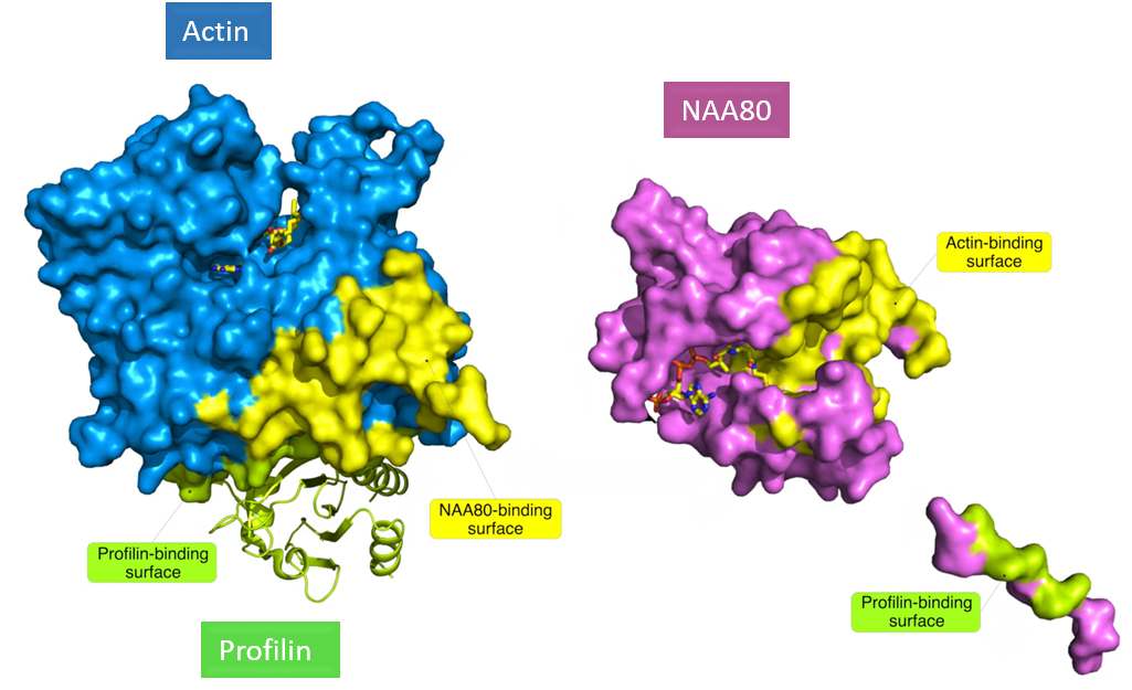 Structure of actin, profilin and NAA80