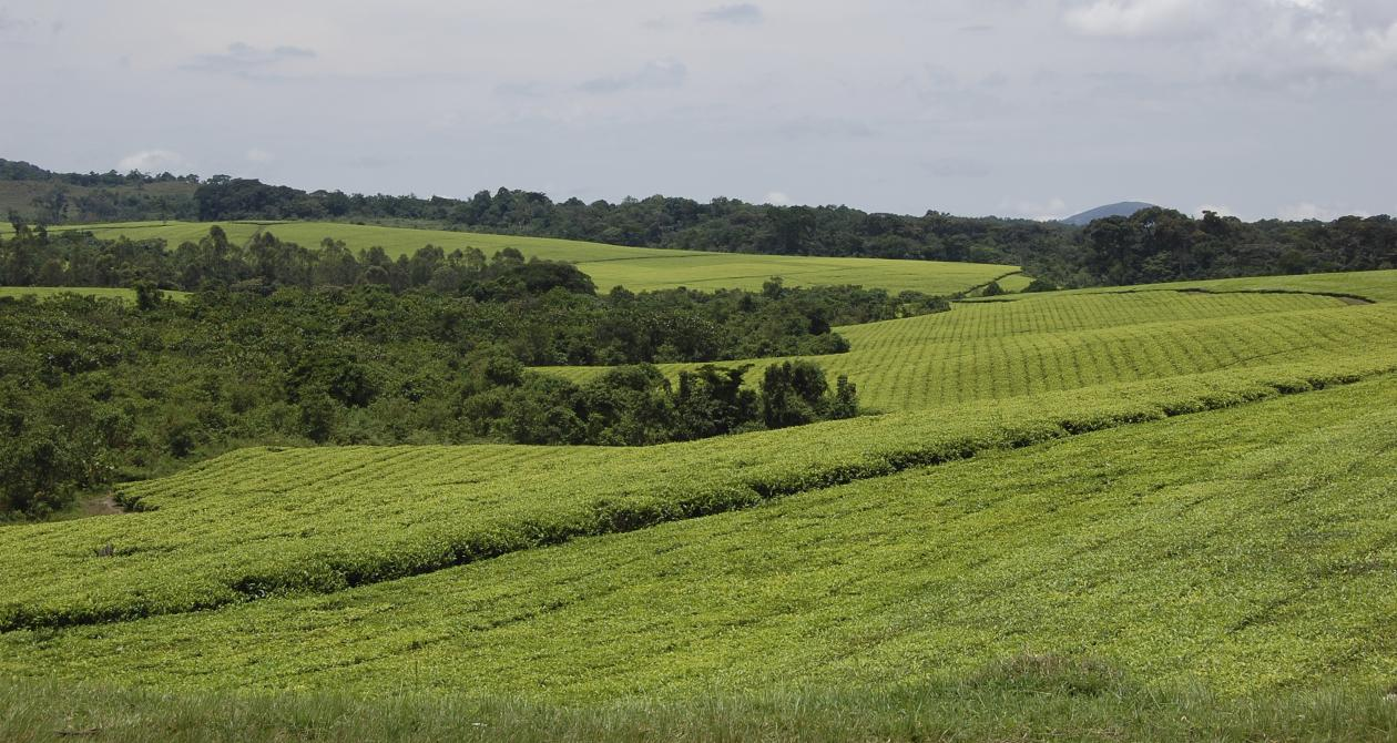 Tea plantations surrounding fragments of forest that were once much more extensive