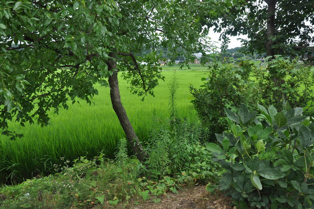 Grønn åker i Sør-Korea