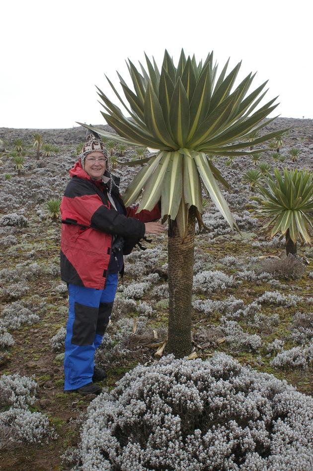Hilary standing next to a giant lobelia (Lobelia rhynchopetalum) in the Bale Mountains, Ethiopia,