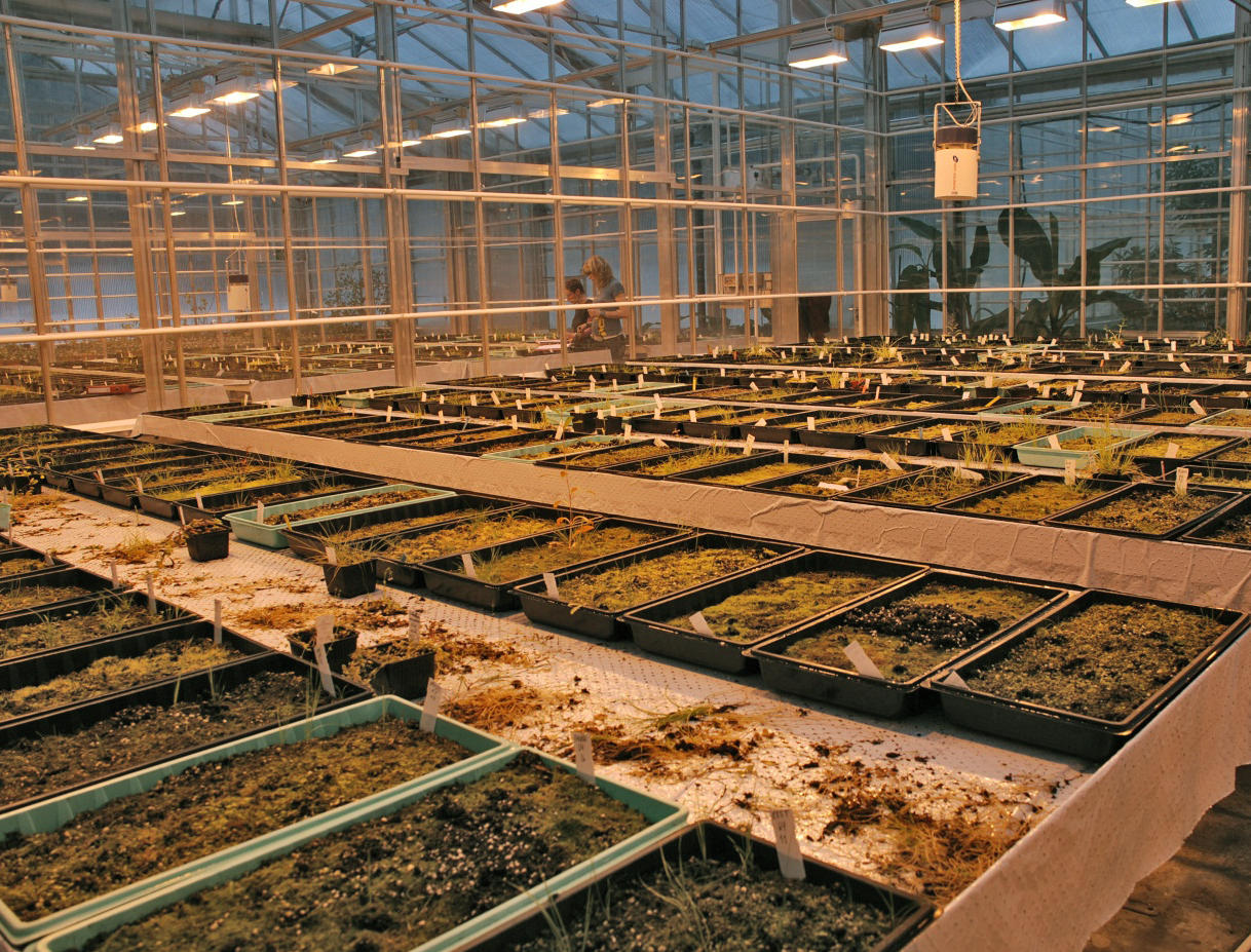 Rows of trays in a greenhouse with samples from of soil from the seedbank to see what germinates