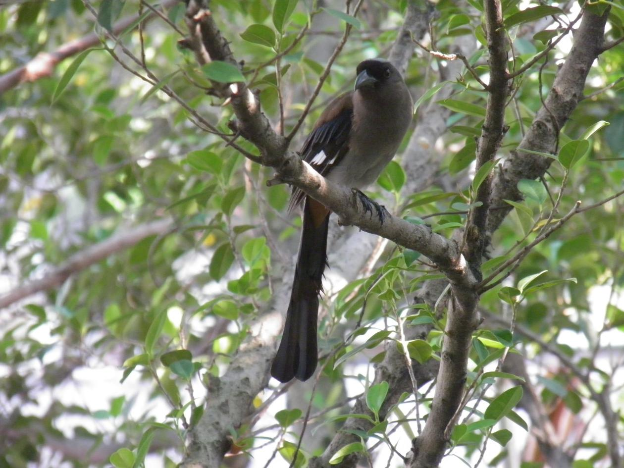 A bird with long tail and strong bil sitting on a tree branch