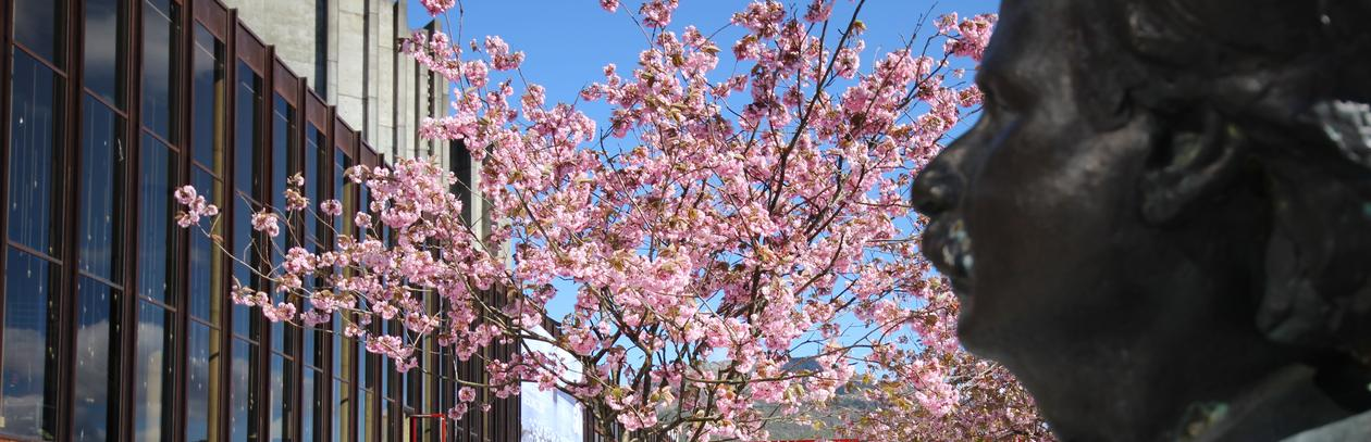 Illustration photo of a Grieg statue facing a blooming cherry tree.