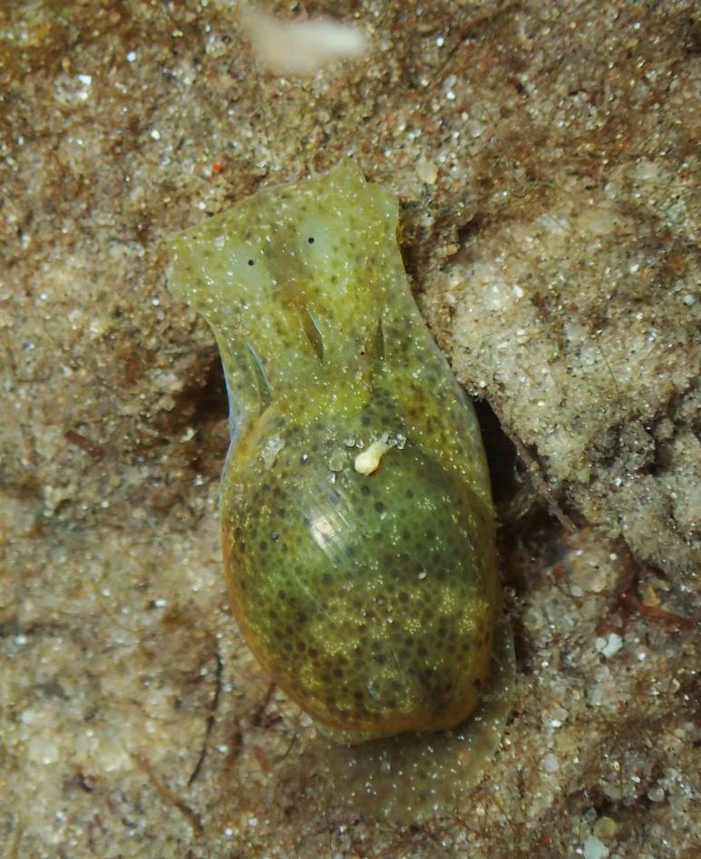 Haminoea sp.