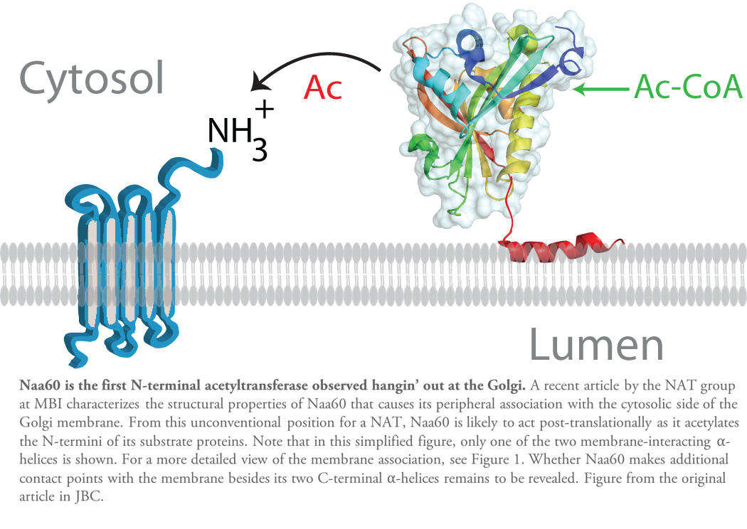 Schematic figure showing a Naa60 protein attached to the golgi membrane by an alpha-helix, while acetylating the N-terminus of another transmembrane protein sitting in the golgi membrane