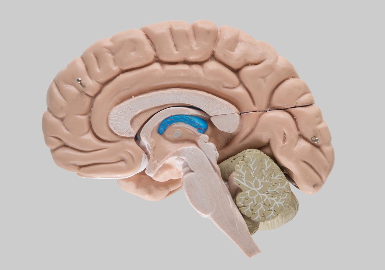 Modell av hjernen