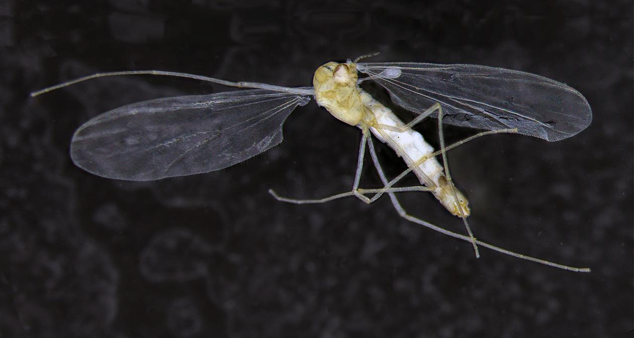 new species Troglocladius haji