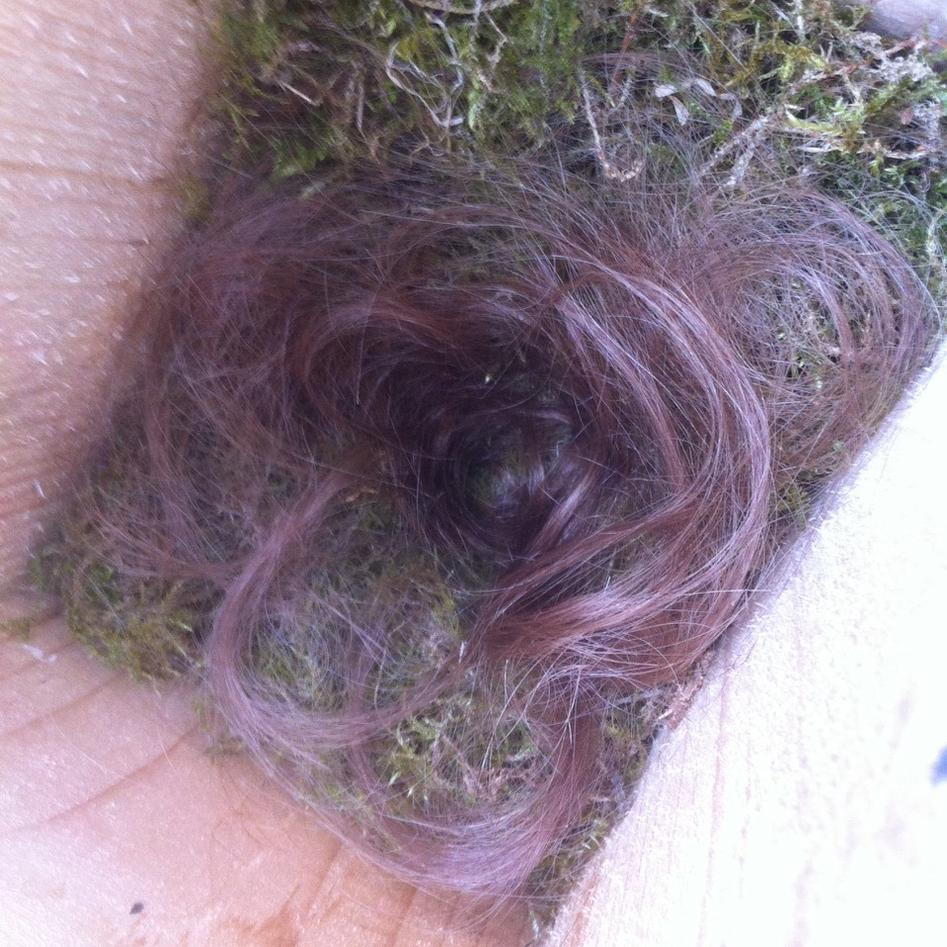 Human hair in a nestbox