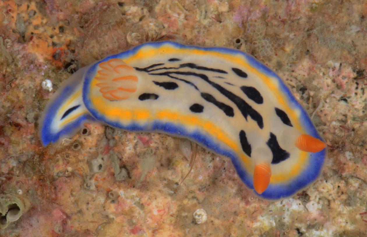 Hypselodoris maritima, Penghu, Taiwan