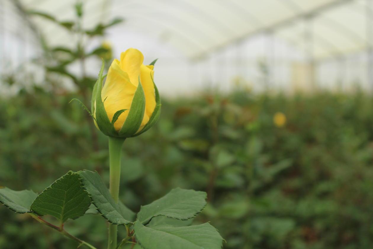 gul rose i nærbilde