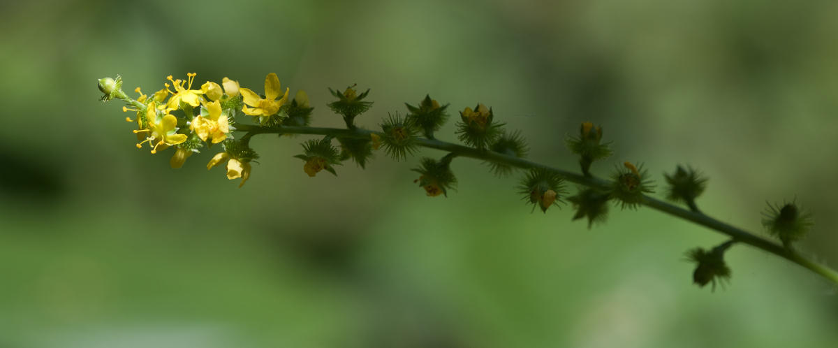 Agrimonia gryposepala