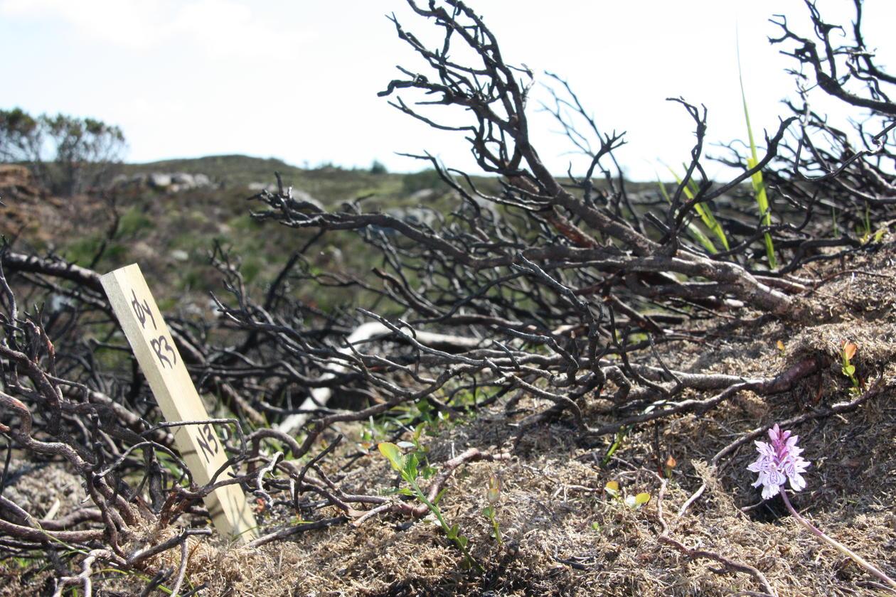 Photo: Experimental plot set up in coastal heathland in Øygarden, Western Norrway