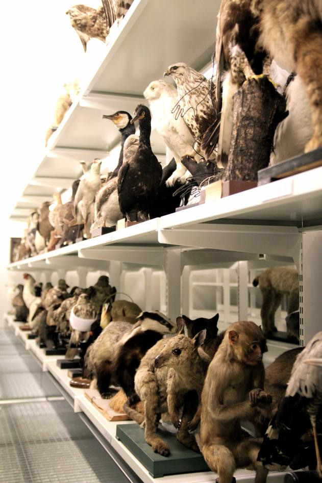 Bilde av en liten del av dyresamlingen til Universitetsmuseet
