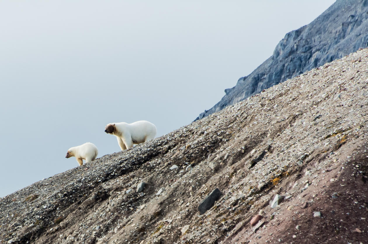 To isbjørner