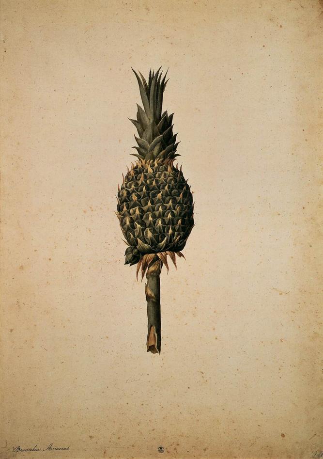 Pineapple by Ligozzi
