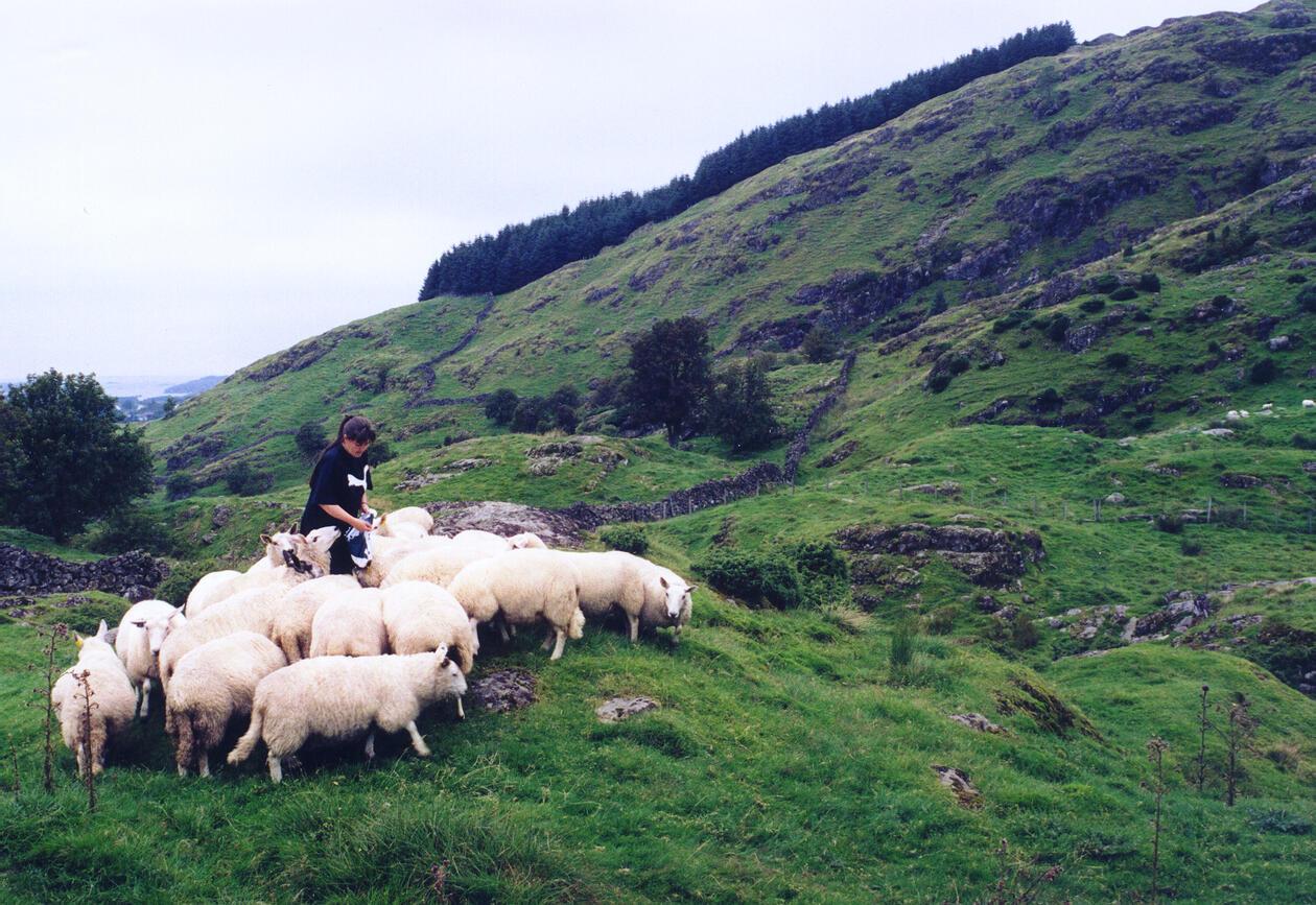Photo: Sheep farming