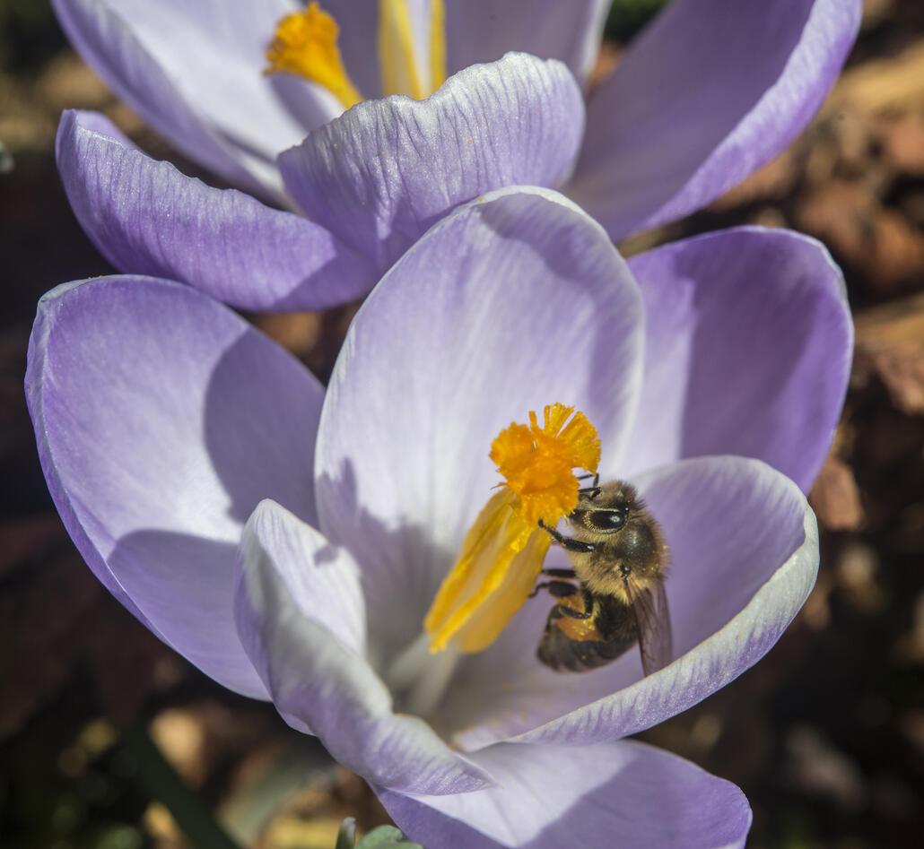 Mildekrokus med bie