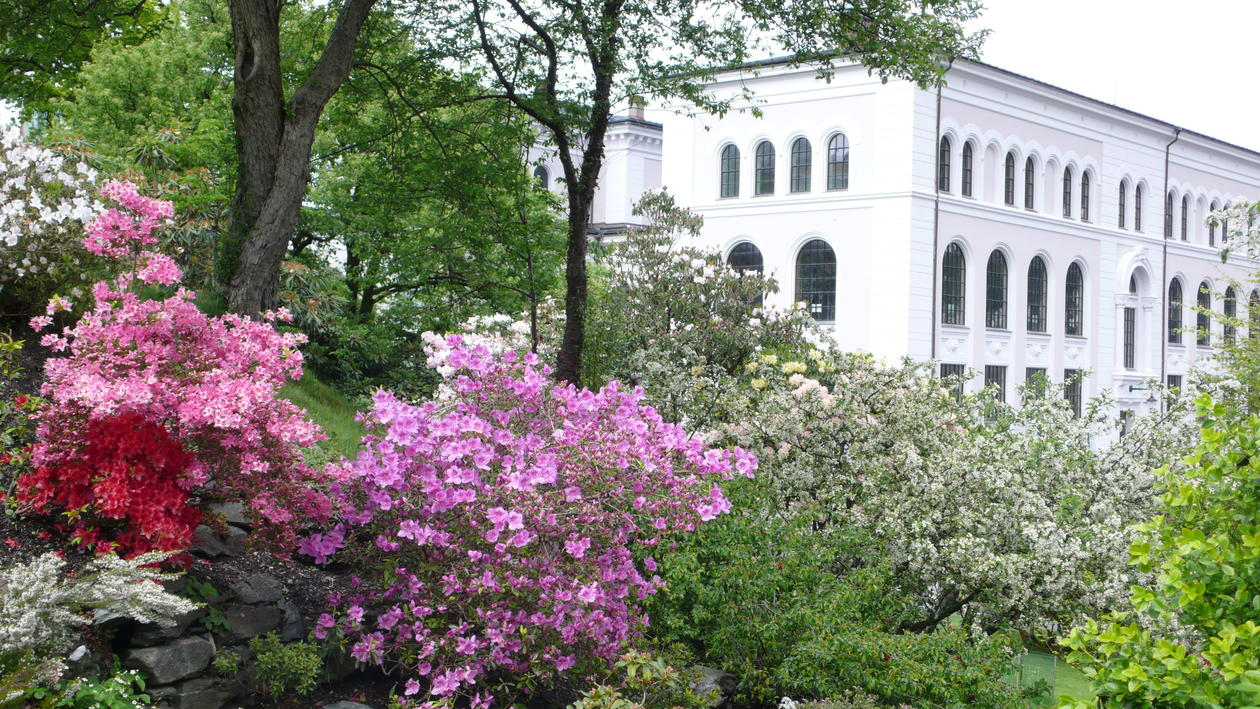 Vårblomstring i Musehagen på Nygårdshøyden.