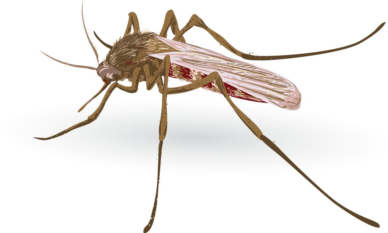 Image of a malaria mosquito on a white background.