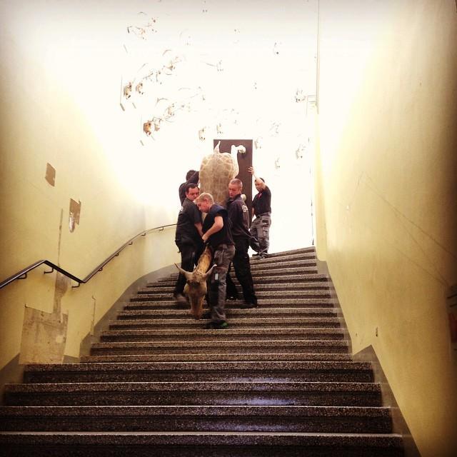 En giraff blir bært ned trappene på Universitetsmuseet