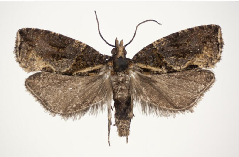 A brown fluffy-edged moth