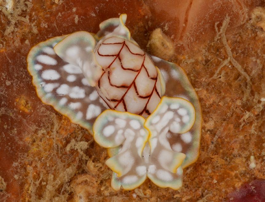 Micromelo undatus from Brazil
