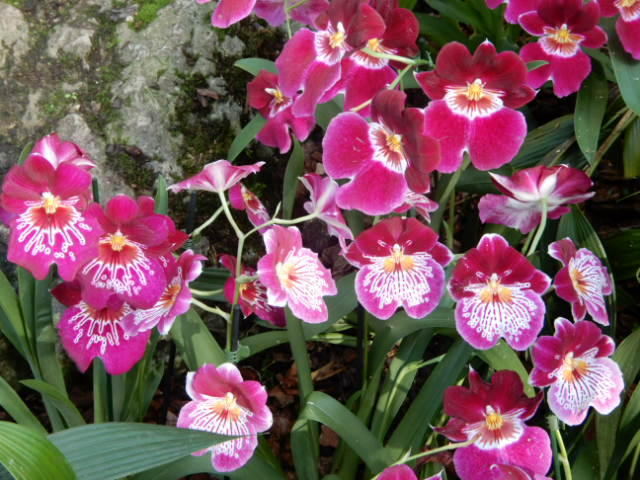 A group of pink and white flowered pansy orchids