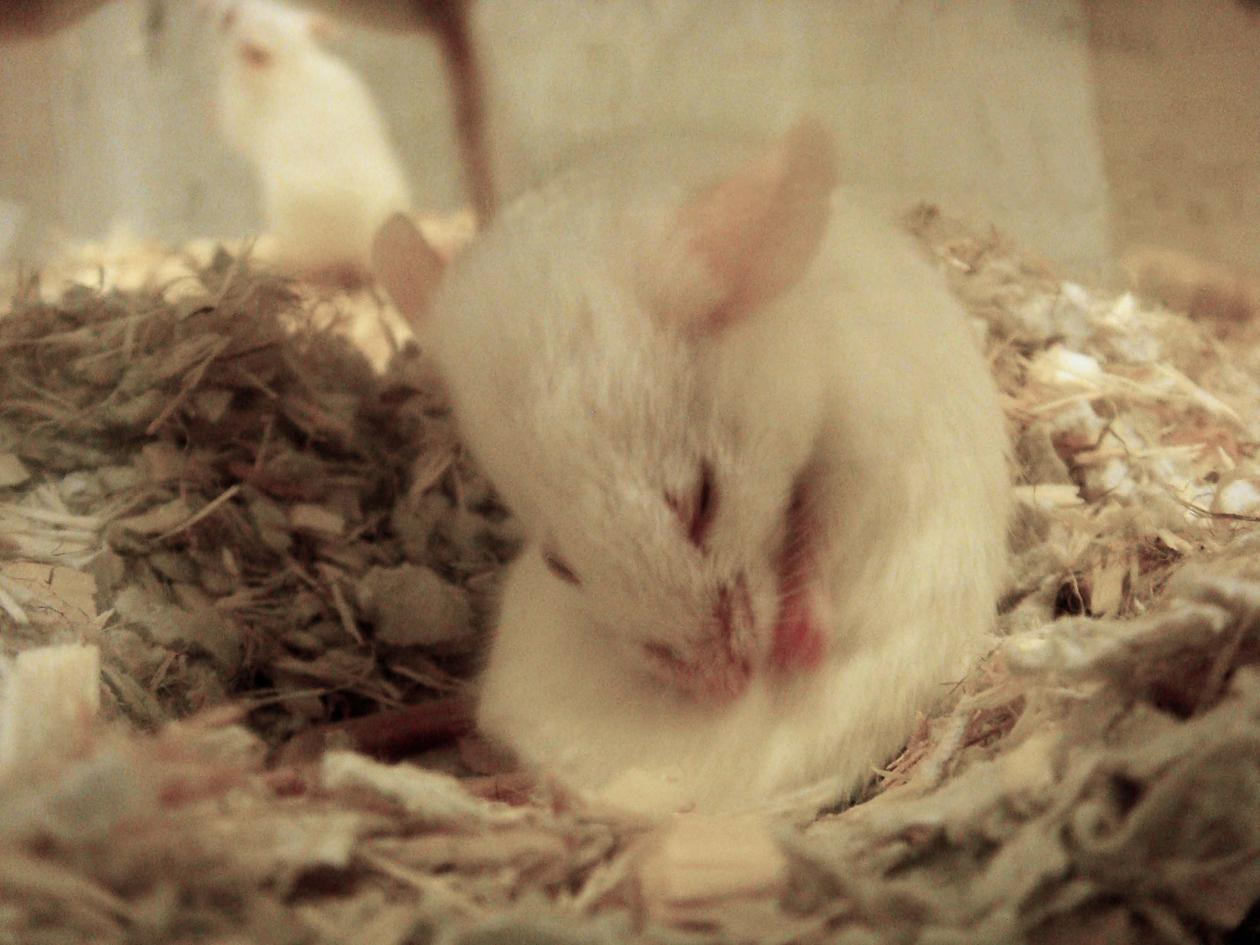 Hvit mus i bur som er opptatt med stellet og pusser seg.