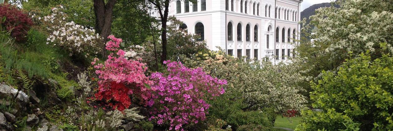 Rhododendron blomar i Muséhagen
