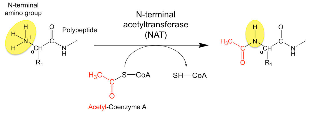 Schematic representation of the process of N-terminal acetylation