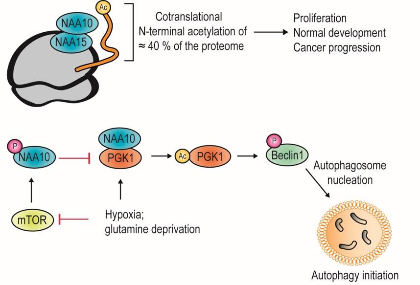 NAA10 has various cellular functions