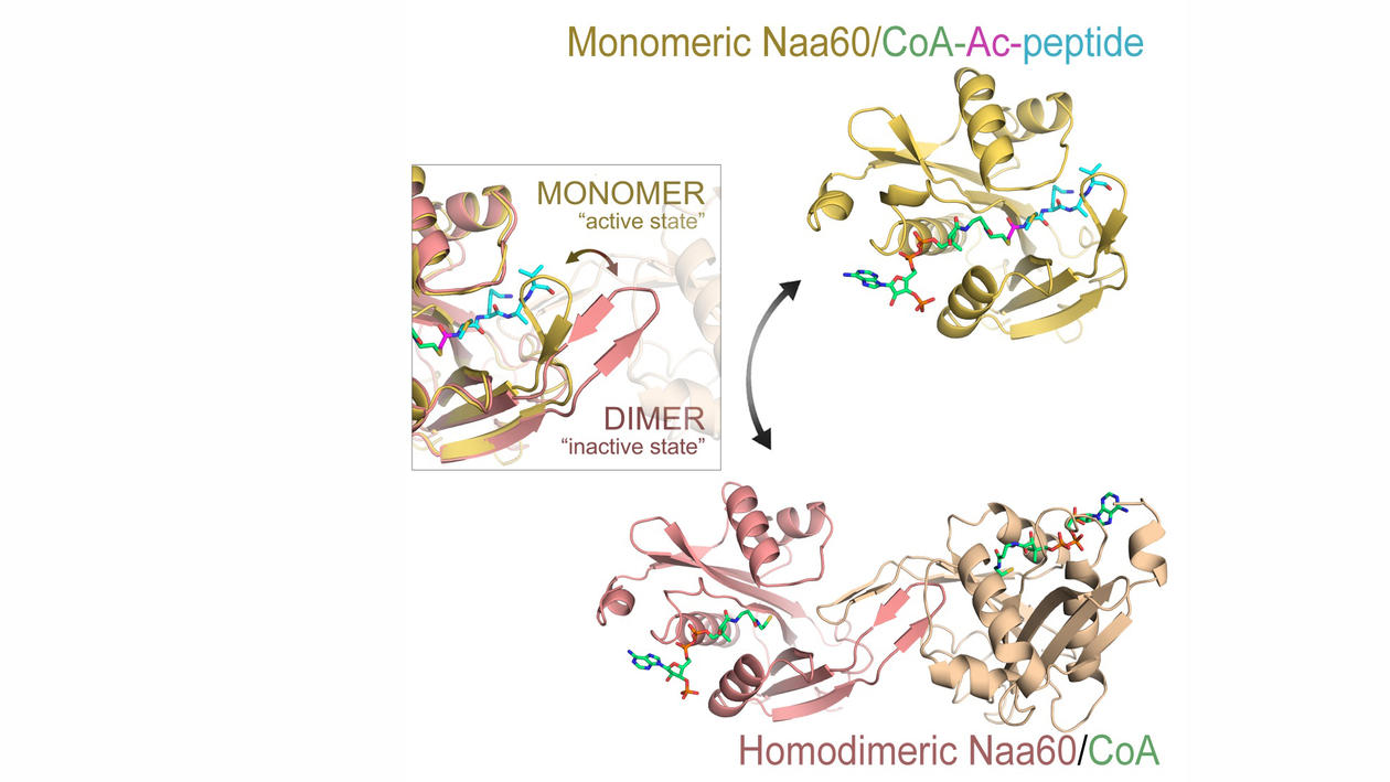 Schematic image of Naa60 showing the main structural features of the monomeric and homodimeric forms of the enzyme