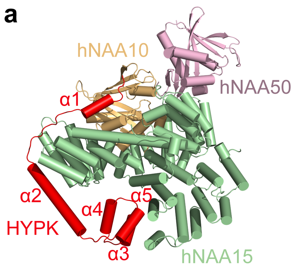 Cryo-EM structure of the tetrameric complex of NAA15-NAA10-NAA50-HYPK