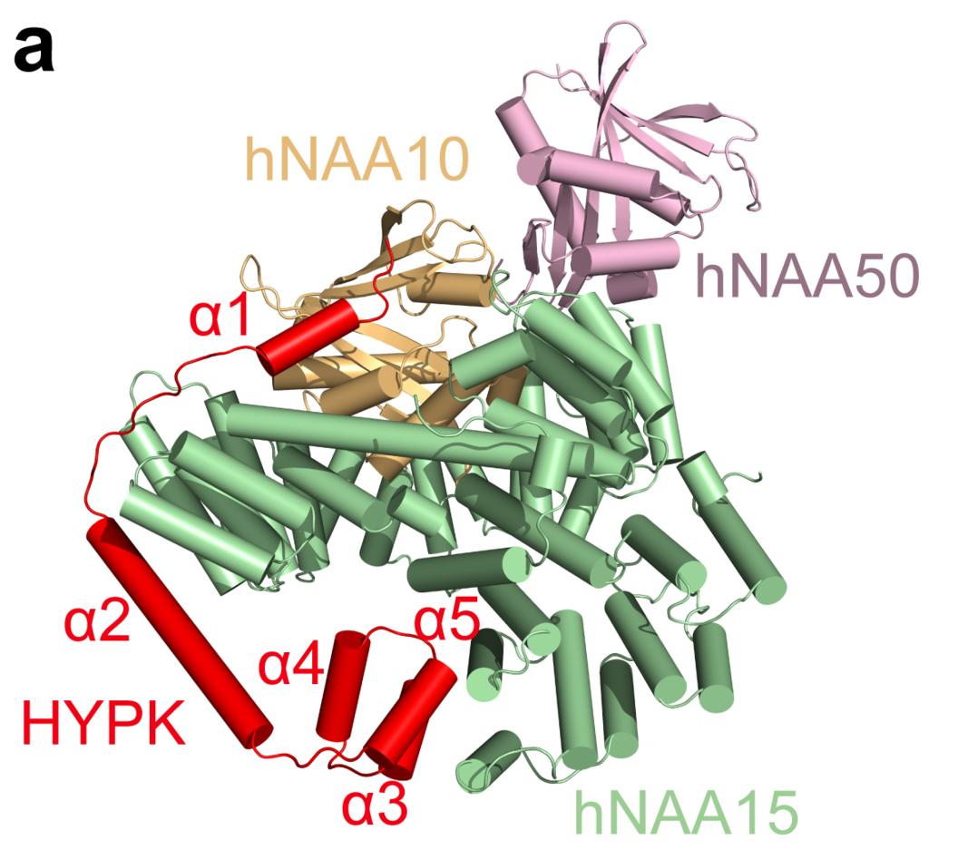 Struktur av NatE bundet til HYPK