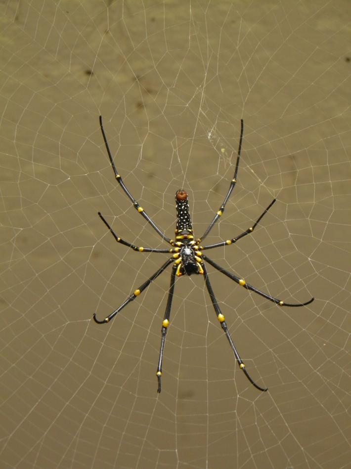 A big black and yellow spider with her web