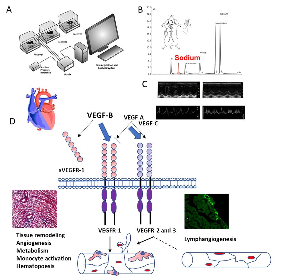 VEGF-B overexpressing heart is sensitized to develop heart failure in DOCA-salt hypertensive rats