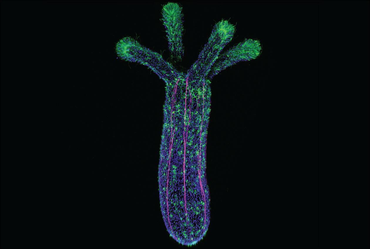 Nematostella Vectensis