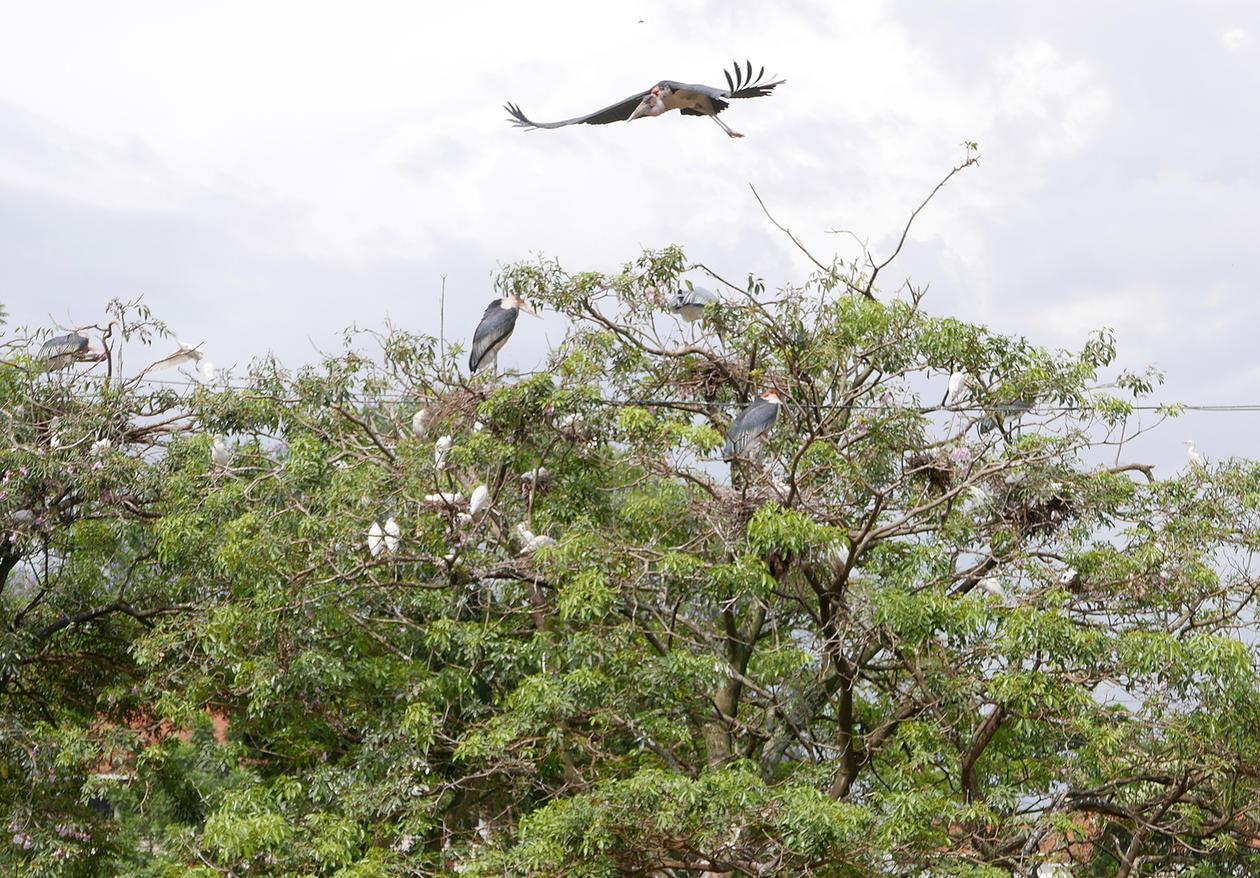 Marabou storks and Intermediate egrets