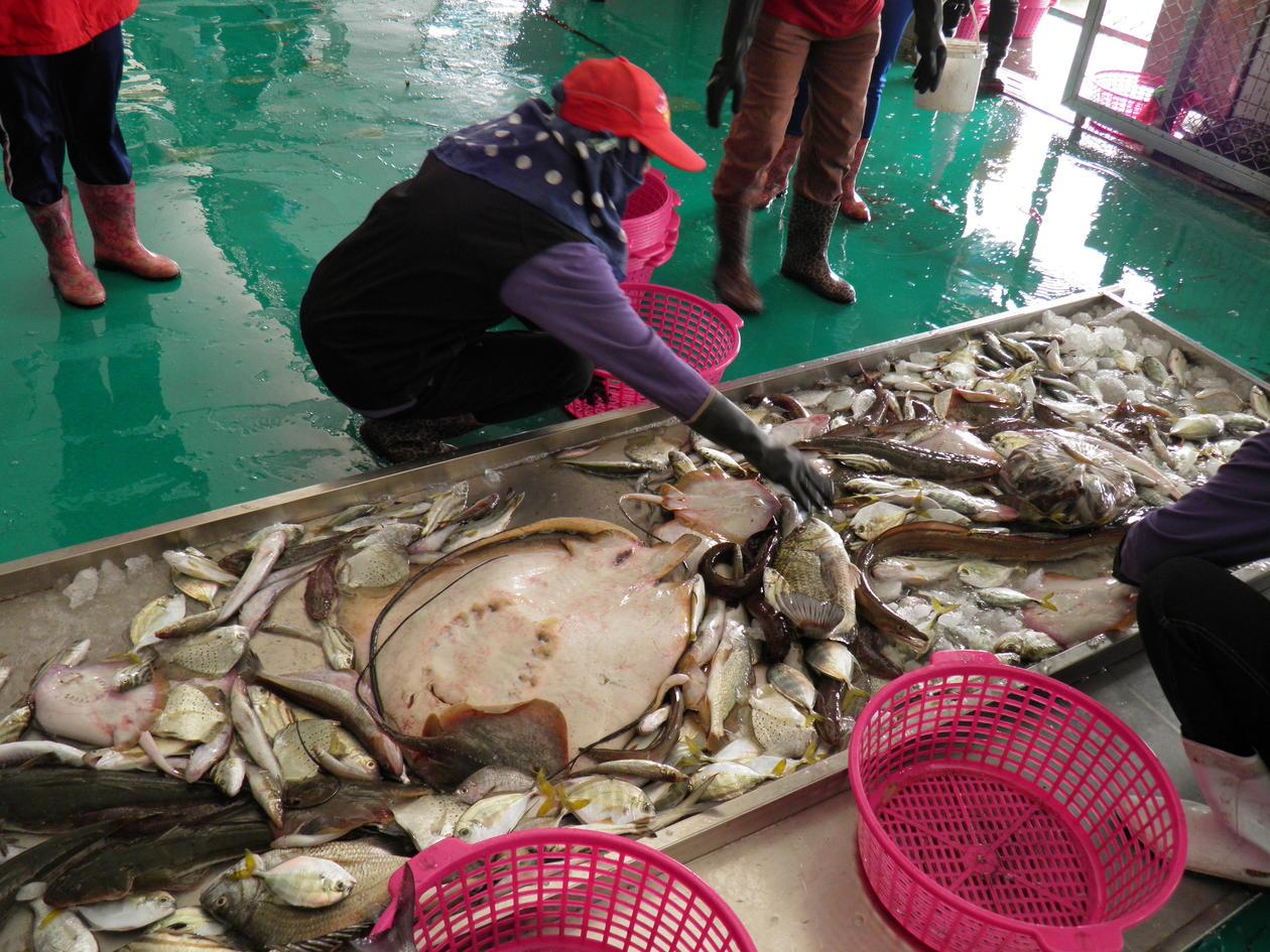 A woman sorting mixed bottom trawl catch
